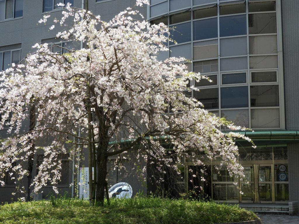 総合研究棟2前のしだれ桜
